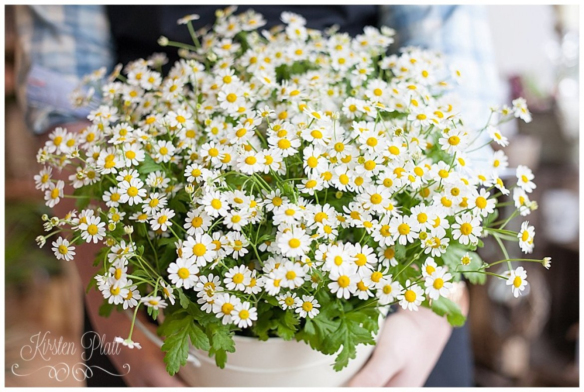 Flower Power Thursday Feverfew